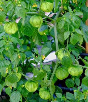 Tomatillo Seeds by Sea Spring Seeds